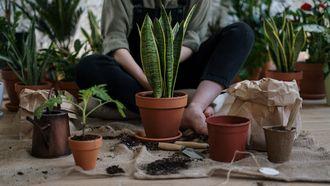 kamerplanten / vrouw is bezig met het verpotten van planten