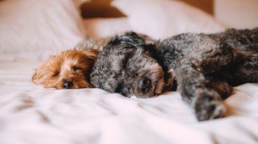 sneller in slaap vallen / honden liggen op bed te slapen