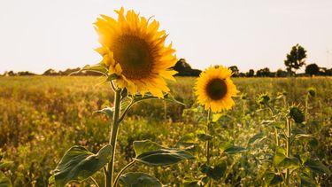 zonnebloem om dankbaar voor te zijn